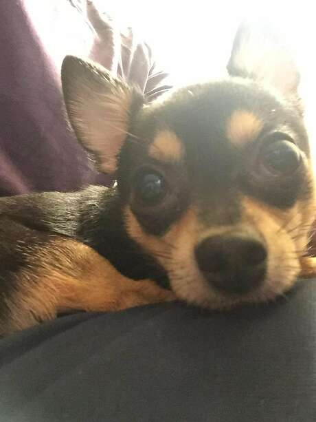 Dunky, a 4-year-old Chihuahua, died after a suspect broke into a car and threw him from the Sutter-Stockton Garage, police said. Photo: SFPD