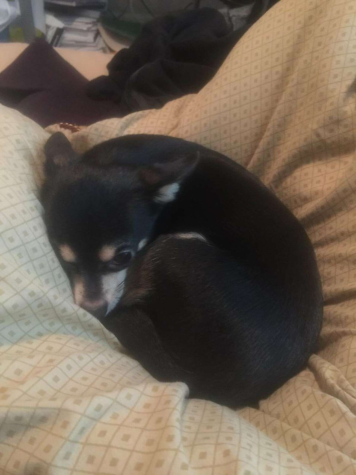 Dunky, a 4-year-old Chihuahua, died after a suspect broke into a car and threw him over a railing near San Francisco�s Union Square, police said.