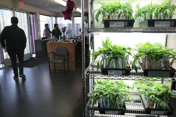 Cannabis plants sold at Berkeley Patients Group, the city's oldest dispensary on Monday, February 12, 2018, in Berkeley, Ca.  Berkeley city council is considering a measure that would declare the city a sanctuary for legal adult use cannabis