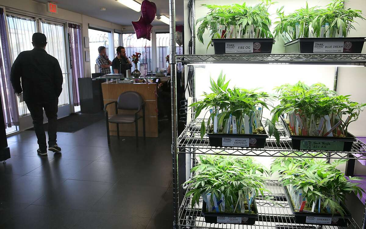Cannabis plants are sold at Berkeley Patients Group, the city's oldest dispensary.