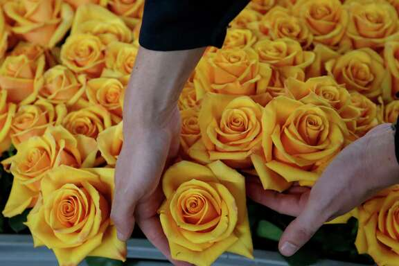 In this Feb. 8, 2018 photo, selected roses sit in a tray before being put through a chemical process to extract their natural yellow color, infuse them with a new one, and preserve them, at the flower farm Sisapamba in Tabacundo, Ecuador. The two-day process involves cutting the flower at full bloom, dipping it into a plant-based solution to extract the natural colors and then infusing it with a pigment of the customer's choice. (AP Photo/Dolores Ochoa)