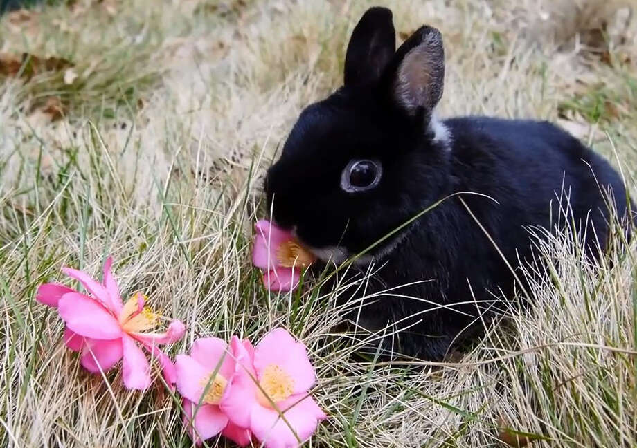 Even the Houston Zoo's cutest animals are getting in the Valentine's Day spirit. On Wednesday zoo staff were showing off a video of some of the animals on-site enjoying flowers for the holiday.  Photo: Houston Zoo
