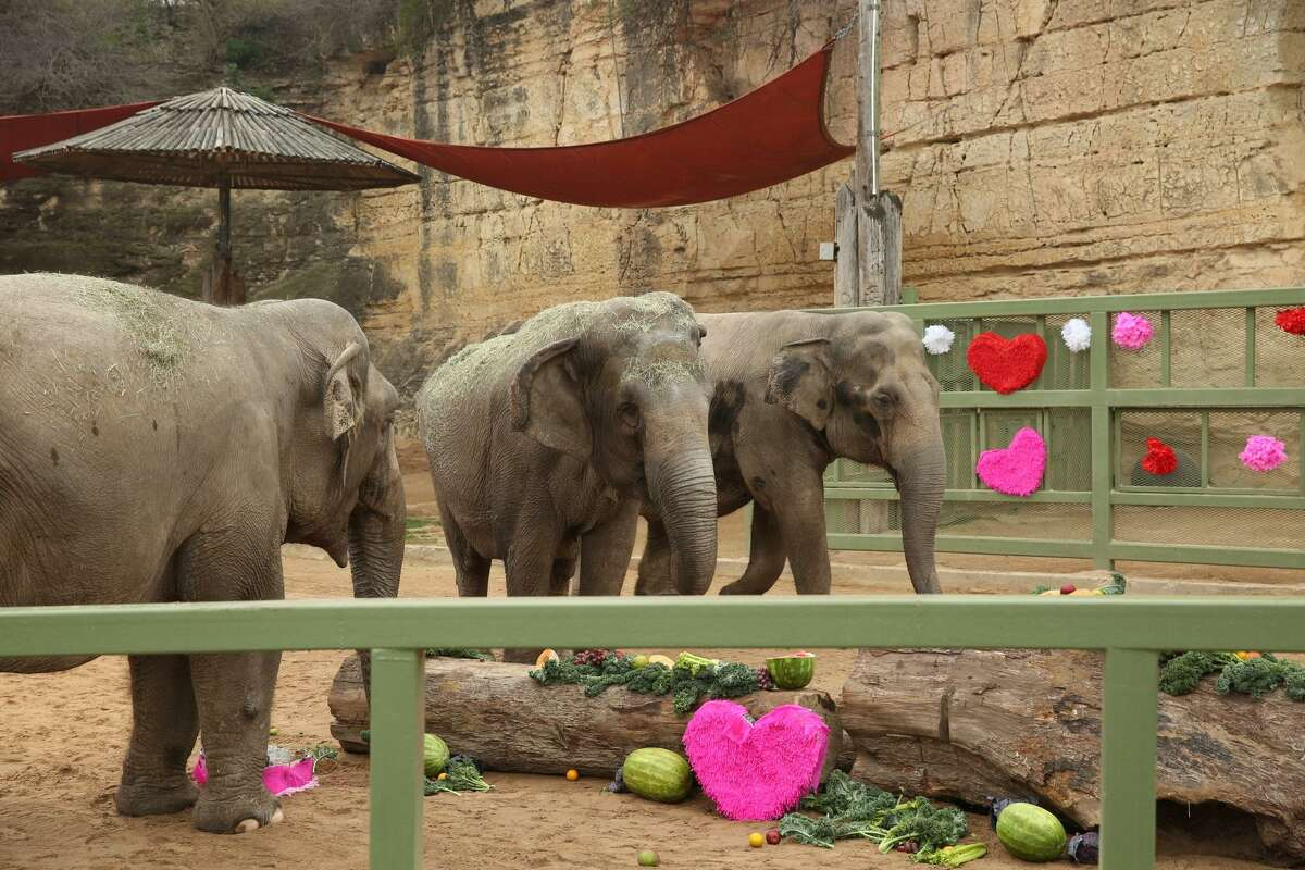 Nicole, Karen and Lucky celebrate the San Antonio Zoo's adoption of Nicole and Karen on Wednesday with a Valentine's Day party. Nicole and Karen had been on loan from the Ringling Bros. Center for Elephant Conservation since 20XX. The three have become friends, zoo officials say.