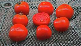 This year's Rodeo tomato, Sunbrite, is a semi-determinate heat-setter, which means the plant will quickly grow to its final size and then concentrate on setting fruit before the hot weather of the San Antonio summer shuts down fruit production. Sunbrite produces a large fruit on a well-leafed plant.