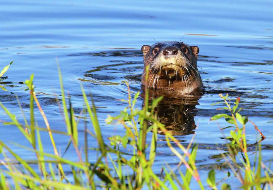 Encountering a Texas river otter, a rare experience outside a sliver of southeast Texas just a generation ago, has become more common as the aquatic mammals appear to be expanding their population and recolonizing much of their native range in the state. Photo: Shannon Tompkins