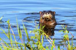 Encountering a Texas river otter, a rare experience outside a sliver of southeast Texas just a generation ago, has become more common as the aquatic mammals appear to be expanding their population and recolonizing much of their native range in the state.