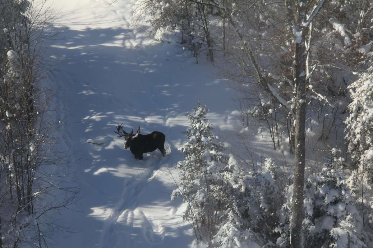 The moose count is on in the Adirondack Mountains. The state Department of Environmental Conservation has begun its third winter aerial survey of moose in the park.
