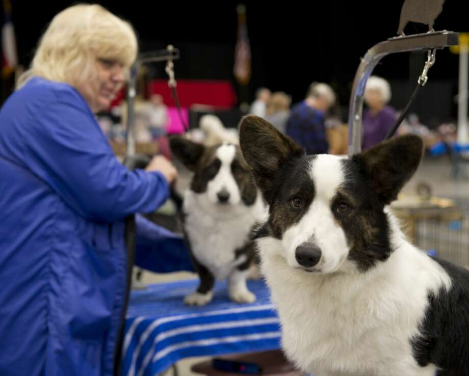 Becky Voegtlin preps her dogs 02/15/18 at the West Texas and Big Spring Kennel Club's Dog Show at the Horseshoe Pavilion. Tim Fischer/Reporter-Telegram Photo: Tim Fischer/Midland Reporter-Telegram