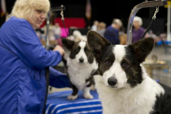 Becky Voegtlin preps her dogs 02/15/18 at the West Texas and Big Spring Kennel Club's Dog Show at the Horseshoe Pavilion. Tim Fischer/Reporter-Telegram