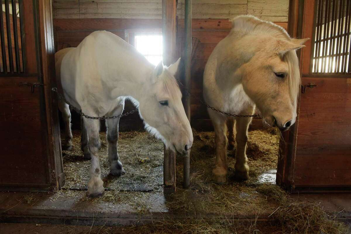 Horses, Ace, left, and Sam in their stalls at the Albany Police Mounted Unit barn on Wednesday, Feb. 14, 2018, in Albany, N.Y. Ace is a new horse to the unit, having been seized during an animal abuse investigation in Massachusetts. Sam has been with the unit for years. (Paul Buckowski/Times Union)