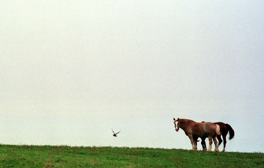 Click through the slideshow to see police horses in action around the Capital Region through the years. Clydesdale police horses admire a passing bird near the Normanskill,  on the Albany police horse training farm, Wednesday, August 23, 2000. Photo: STEVE JACOBS, DG / ALBANY TIMES UNION