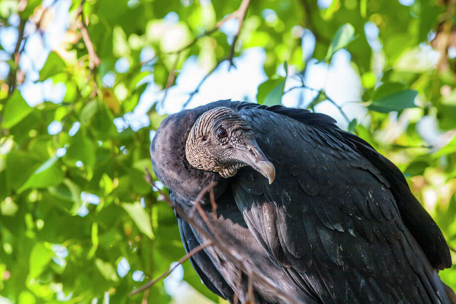Black vultures don't have a good sense of smell.  They have keen eyesight so notice when other animals are devouring their kill.  Photo Credit:  Kathy Adams Clark.  Restricted use. Photo: Kathy Adams Clark / Kathy Adams Clark/KAC Productions