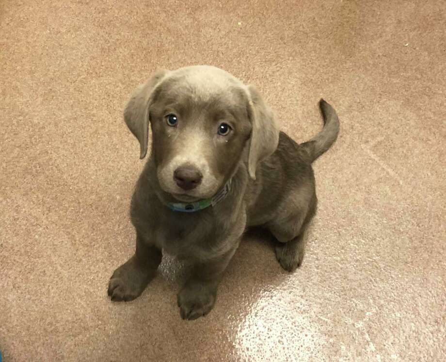 This puppy become the center of a social media firestorm on Feb. 12 after a customer at Pet Fair in The Woodlands Mall claimed it was sick. Store officials said the dog was sick and had been treated by a local veterinarian.