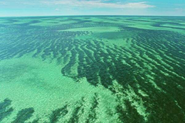 Picture shows: Vast seagrass meadows in Shark Bay, Australia, where some of the largest undersea meadows in the world can be found. The meadows are comprised of many species including the seagrass Amphibolis Antarctica. They support great populations of seagrass grazers, such as the green turtle and the manatee as well as their predator, the tiger shark.