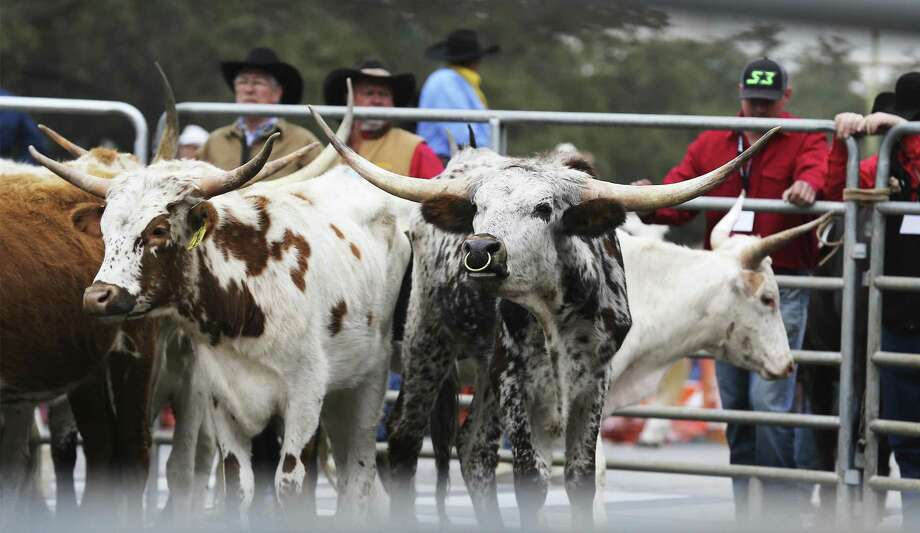 Texas residents have chosen the Longhorn Steer as Frontier Airlines' mascot for San Antonio. A Longhorn will decorate the tail of one of the airlines's new planes. Residents will also choose the longhorn's name and voting ends next Monday. Here, several Longhorn wait to be trailered as the annual Western Heritage parade and cattle drive herd got under way Feb. 3. Photo: Kin Man Hui /San Antonio Express-News / ©2018 San Antonio Express-News