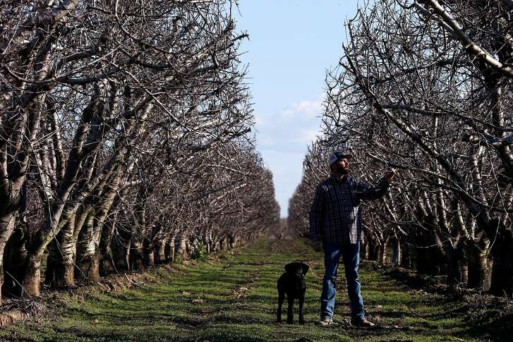 Chris Borello and his dog Remi check their cherry farm, Tuesday, Feb. 13, 2018, in Coyote Valley, Calif.