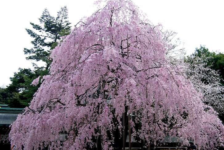 Prunus subhirtella var. pendula.  Photo: Wiki Commons