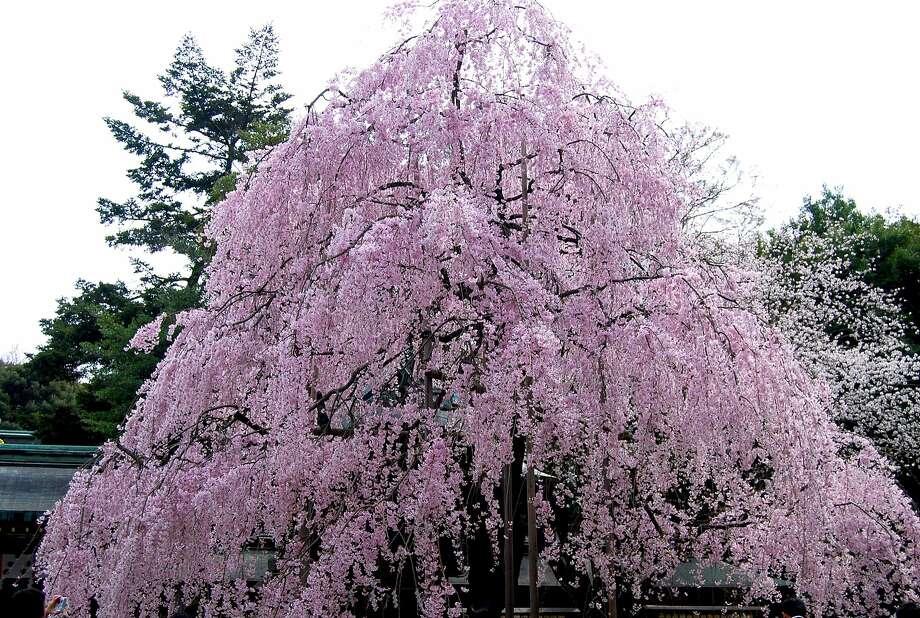 Prunus subhirtella var. pendula will grow to 20 to 25 feet and does best in full sun. Photo: Wiki Commons
