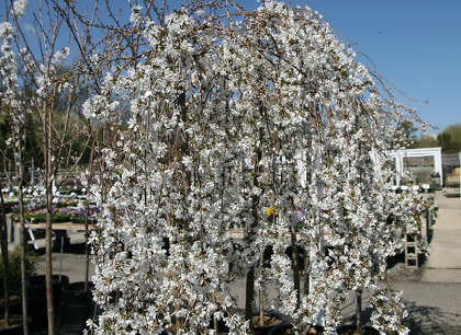 Ornamental Cherry Trees Bring A Waterfall Of Blooms Sfchronicle Com