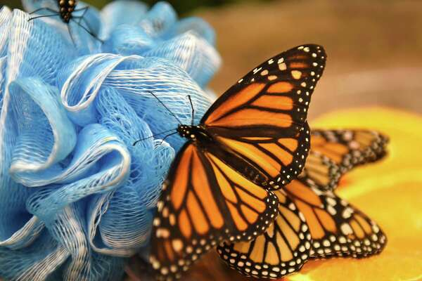 "Monarch butterflies are seen at the ""Discover Butterflies"" exhibit at miSci on Friday, Feb. 16, 2018 in Schenectady, N.Y. (Lori Van Buren/Times Union)"