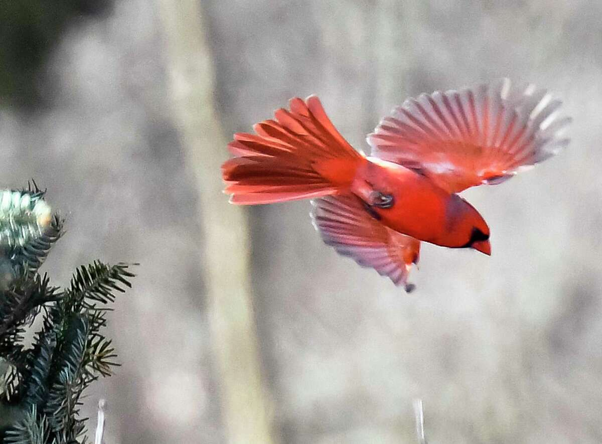 This Northern Cardinal was among the birds recorded during the Great Backyard Bird Count at Five Rivers Environmental Education Center Saturday Feb. 17, 2018 in Delmar, NY. (John Carl D'Annibale/Times Union)