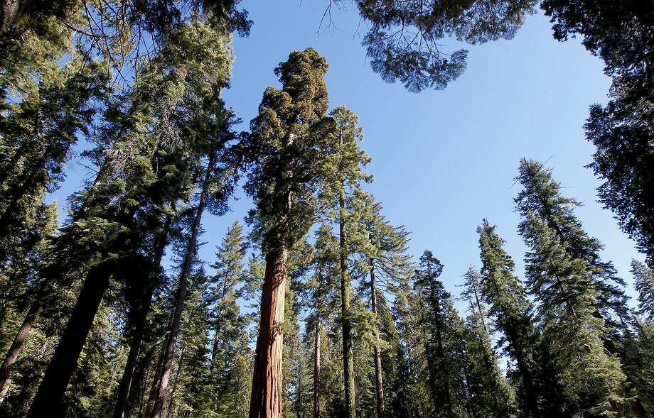The Mariposa Grove of giant sequoias in Yosemite National Park will reopen June 15 after a three-year restoration project to protect the trees' habitat. Photo: Michael Macor, The Chronicle