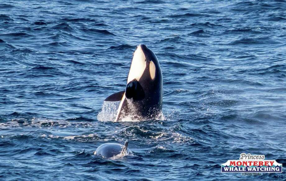 A pod of playful orcas approached a whale watching boat Saturday, Feb. 17, 2018. Photo: Randy Straka / Princess Monterey Whale Watching