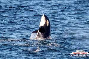 A pod of playful orcas approached a whale watching boat Saturday, Feb. 17, 2018.