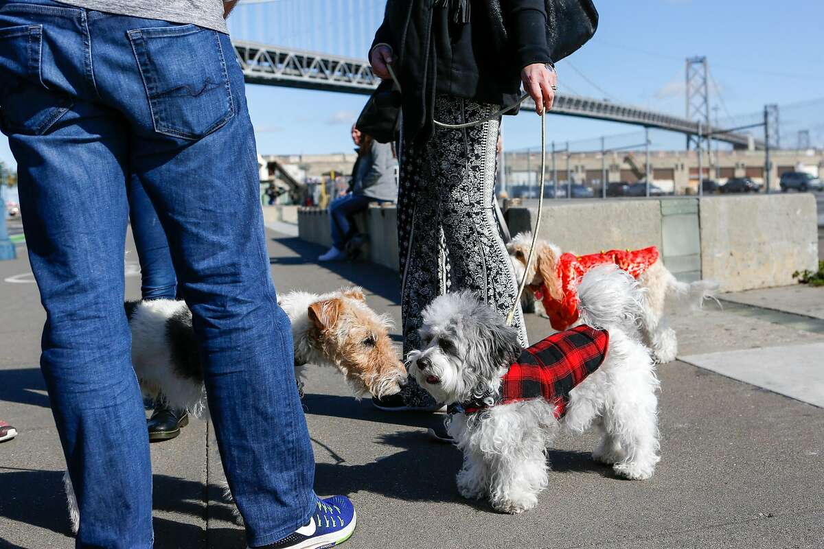 Owners walk their dogs for the Puppy Embarcadero Walk to celebrate the Year of the Dog on Sunday in San Francisco.