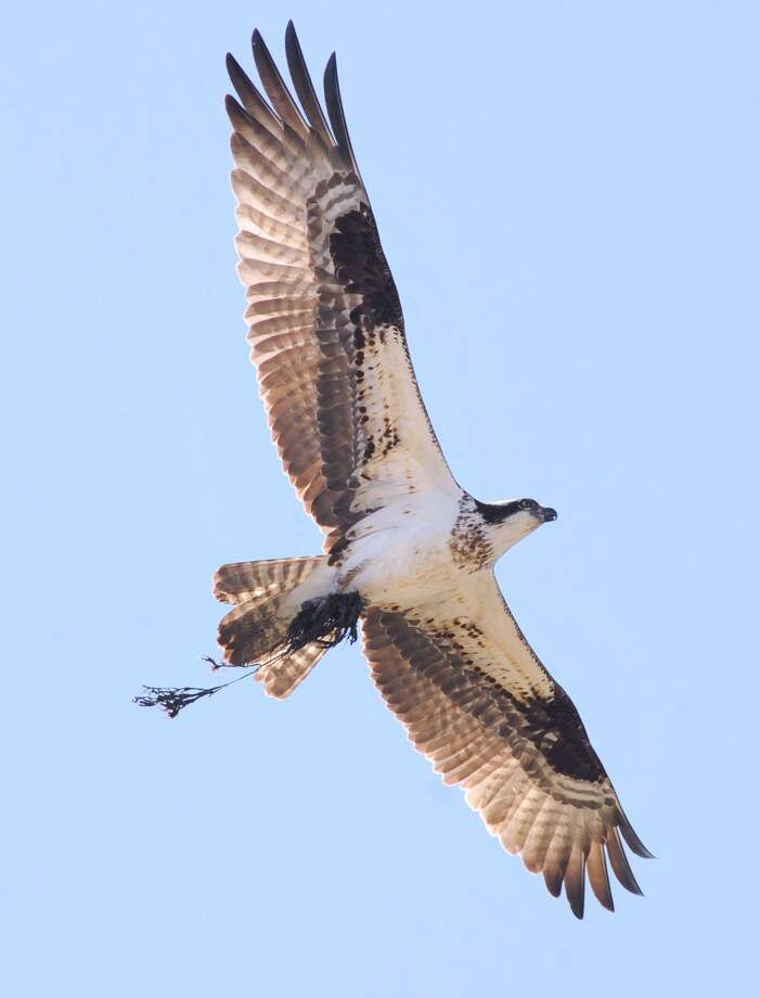 An osprey with nesting material in its talons makes its way to its nest located on the platform of a communications tower near Cos Cob park in Greenwich, Conn., Tuesday afternoon, April 28, 2015. The osprey, part of the large raptor family of birds is also known as a sea hawk. It hunts fish during the day. It has a wingspan of between 5-6 feet. Its scientific name is, Pandion haliaetus. Photo: Bob Luckey / Bob Luckey / Greenwich Time