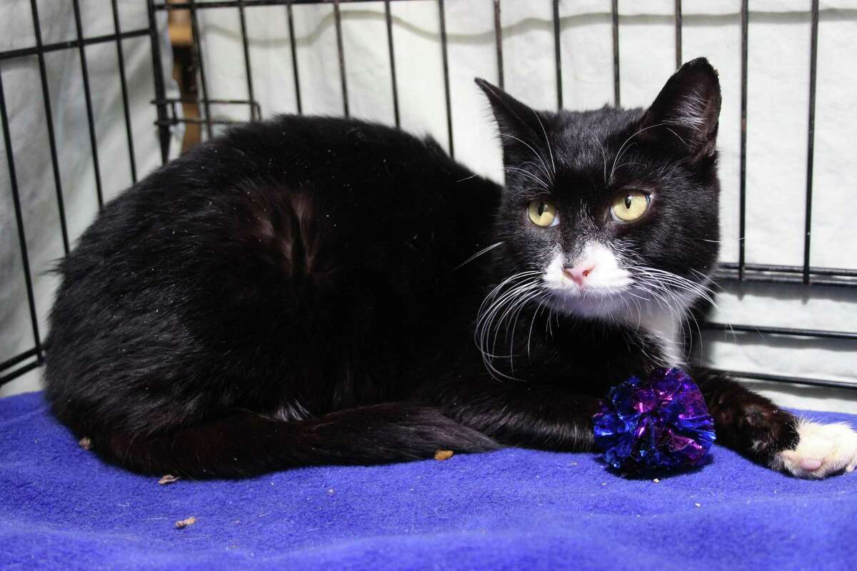 Mimosa, a sweet girl, is settling in well, but like most others would love to be in her forever home. Come welcome Mimosa to our adoption center in Granby! To reach Marys Kitty Korner, call 860-379-4141/413-297-0537 or email marys.kitty.korner@sbcglobal.net.