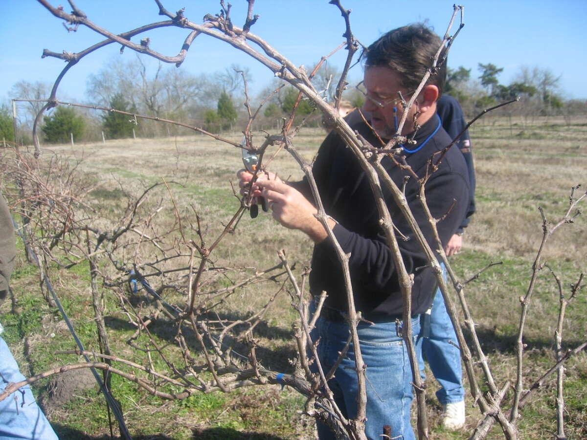 Jerry Bernhardt prunes vines in the Bernhardt Winery vineyard. Bernhardt and volunteers will be pruning the vineyard this weekend and more volunteers are welcome.