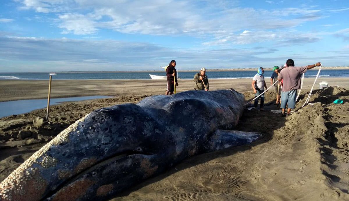 In this photo released by Mexico's Federal Environmental Protection Agency (PROFEPA) and taken between Feb. 15 and 17 of 2018, people try to aid a gray beached in Baja California Sur state, Mexico. The gray whale was returned safely to the Pacific Ocean after three days beached on the coast. (PROFEPA via AP)