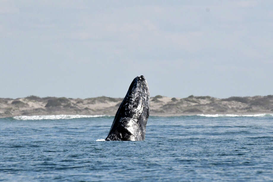 FILE: A Gray whale emerges along the Baja California Sur coast February 2, 2018 near Lopez Mateos, Mexico. Photo: Nick Ut/Getty Images