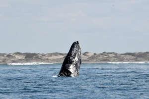 LOPEZ MATEOS, MEXICO - FEBRUARY 02:  A Gray whale emerges along the Baja California Sur coast February 2, 2018 near Lopez Mateos, Mexico. (Photo by Nick Ut/Getty Images)