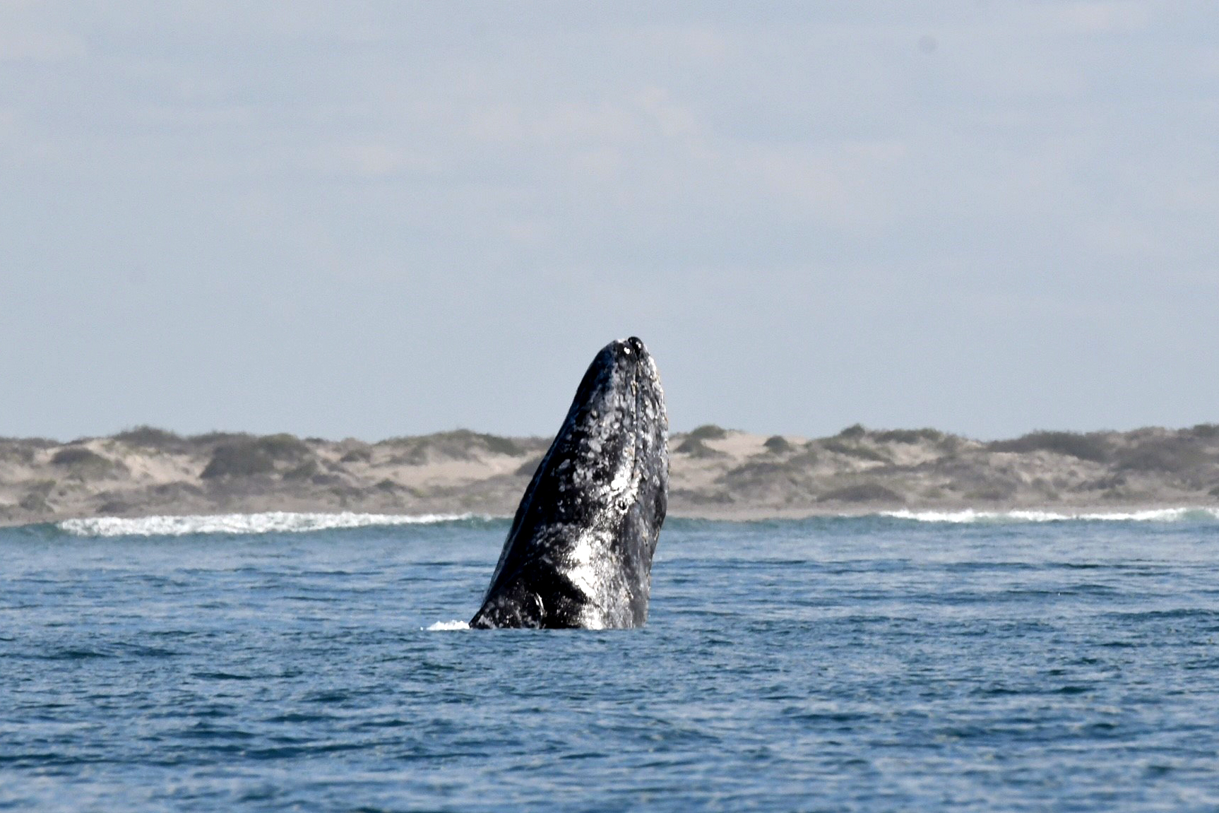 A whale watcher got up close and personal with a gray whale. She really shouldn't have.