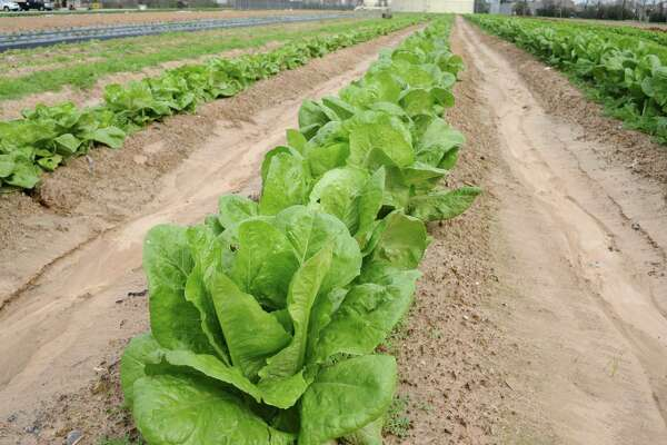 A row of Romaine lettuce (center) and leaf lettuces in adjacent rows. An E.coli outbreak thought to have stemmed from Romaine recently hospitalized at least 26 people in the U.S. and Canada — including two in Connecticut.