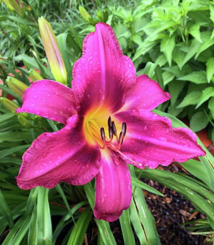 Late September and early October are the best times to separate overcrowded daylilies, but late winter is also a good time, before they really start growing.
