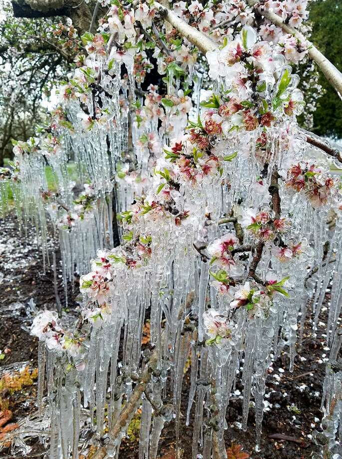 Icicles hanging from almond trees in an orchard south of Chico on Feb. 20, 2018. Photo: John Garriga / Twitter @SacValleyCA