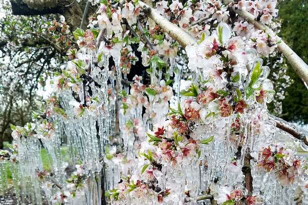Icicles hanging from almond trees in an orchard south of Chico on  Feb. 20, 2018 .