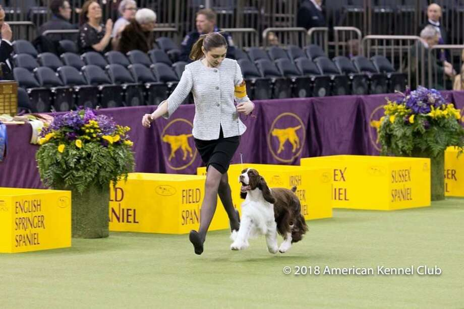 Lily Mancini, 18, of Sherman, with her English springer spaniel, Liam, won the Best Junior Showmanship title at the Westminster Dog Show on Tuesday. Photo: American Kennel Club / Contributed Photos / The News-Times Contributed