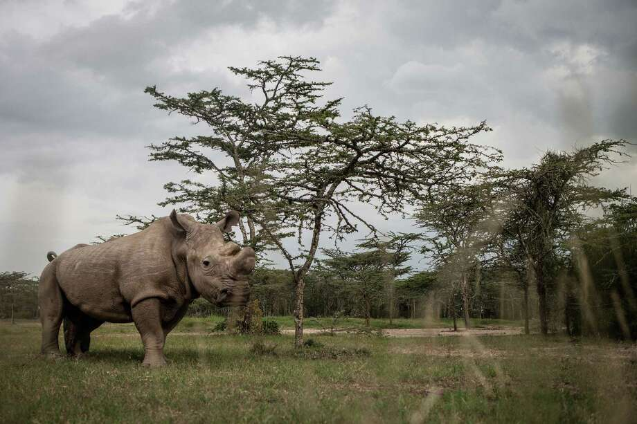 Sudan, the last male northern white rhino left on the planet, lives alone in a 10-acre enclosure, with 24-hour guards. With just five northern white rhinos left on Earth _three of them here in Kenya _  conservationists are searching for a scientific breakthrough that could save a population that is already effectively extinct. Illustrates RHINOS (category i), by Kevin Sieff (c) 2015, The Washington Post. Moved Tuesday, June 16, 2015. (MUST CREDIT: Photo for The Washington Post by Nichole Sobecki) ORG XMIT: 92.0.1903007312 Photo: Nichole Sobecki / The Washington Post