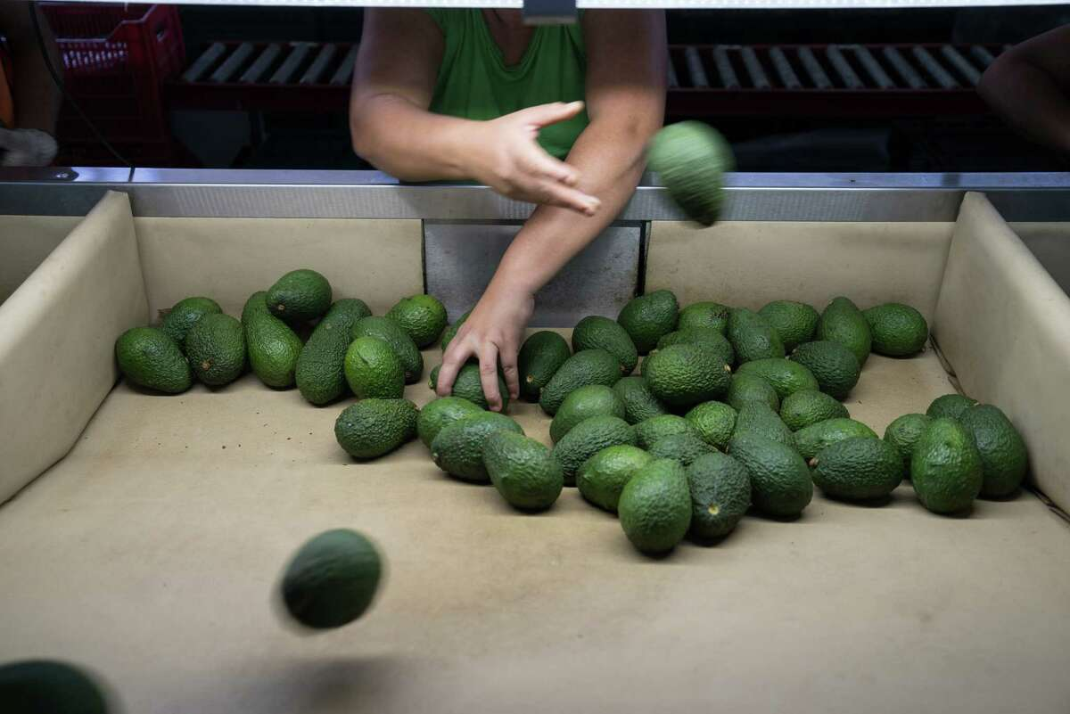 A worker sorts avocados from a conveyor belt at a packing facility in Nayarit, Mexico, in 2016, when Mexico shipped $10.5 billion of fruit and vegetables to the U.S. But NAFTA has had unhealthy effects for Mexicans, who are receiving corn, soybean, pork and dairy products from their northern neighborn. (