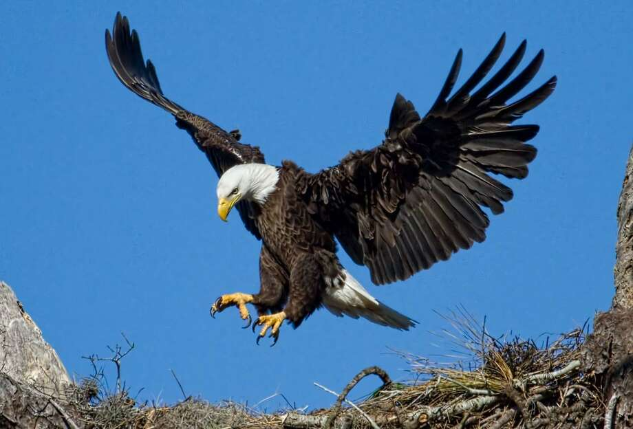 The Eagle Flyer, a Connecticut River Eco-Excursion, will leave from Essex on Feb. 17-19, 24-25. No guarantees, but passengers may spot eagles and other wildlife. Photo: Contributed Photo