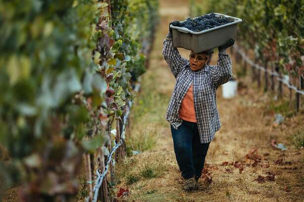 Maria Echavarria hauls her heavy bin filled with wine grapes up the steep hill at Porter Creek Vineyard in Healdsburg, Calif. Friday, September 1, 2017.
