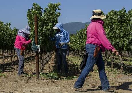 From left: Karla Perez, Maria Bucio and Rocio Cruz maintain the Renteria Vineyards on Wednesday, July 19, 2017, in Napa, Calif.