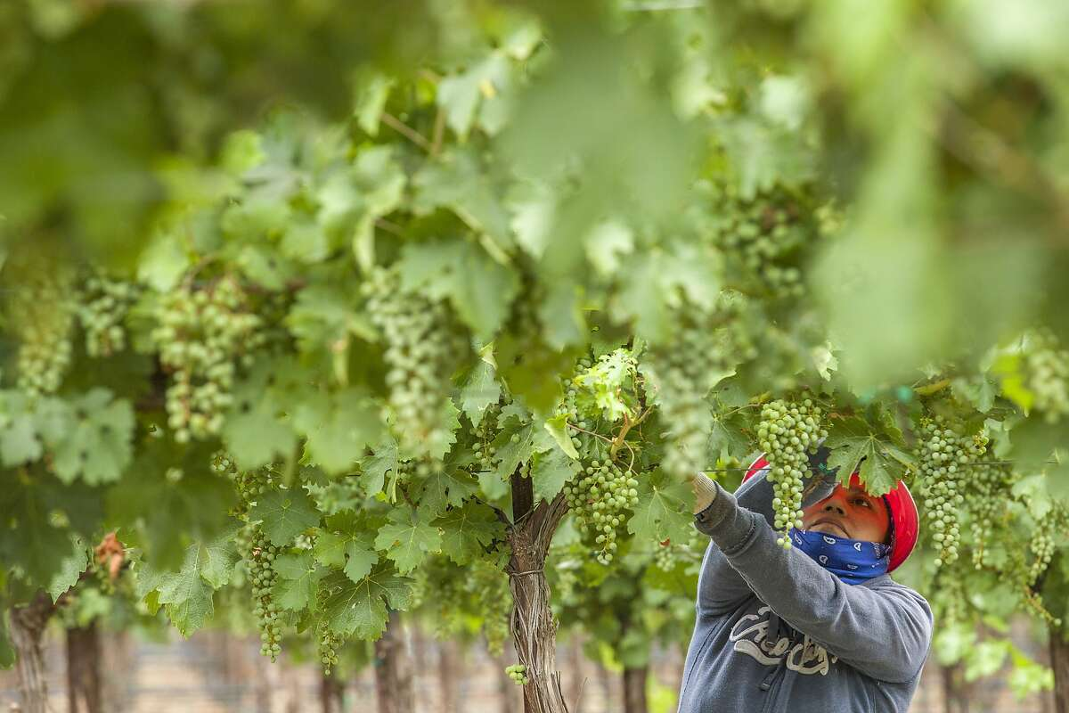 How can California keep vineyard workers safe from the coronavirus? Here, Carina De La Cruz trims vines at a vineyard in Rutherford.
