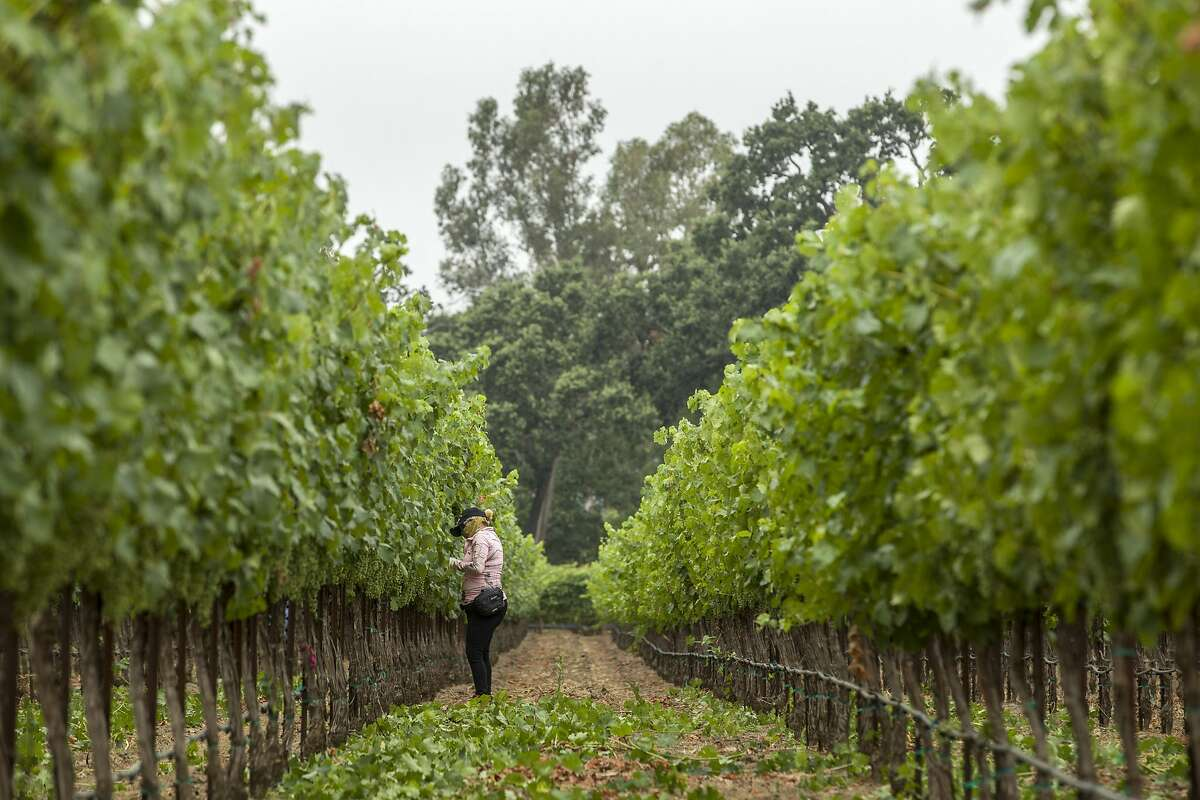 Martha Delgado trims and maintains the Renteria Vineyards on Wednesday, July 19, 2017, in Napa, Calif.