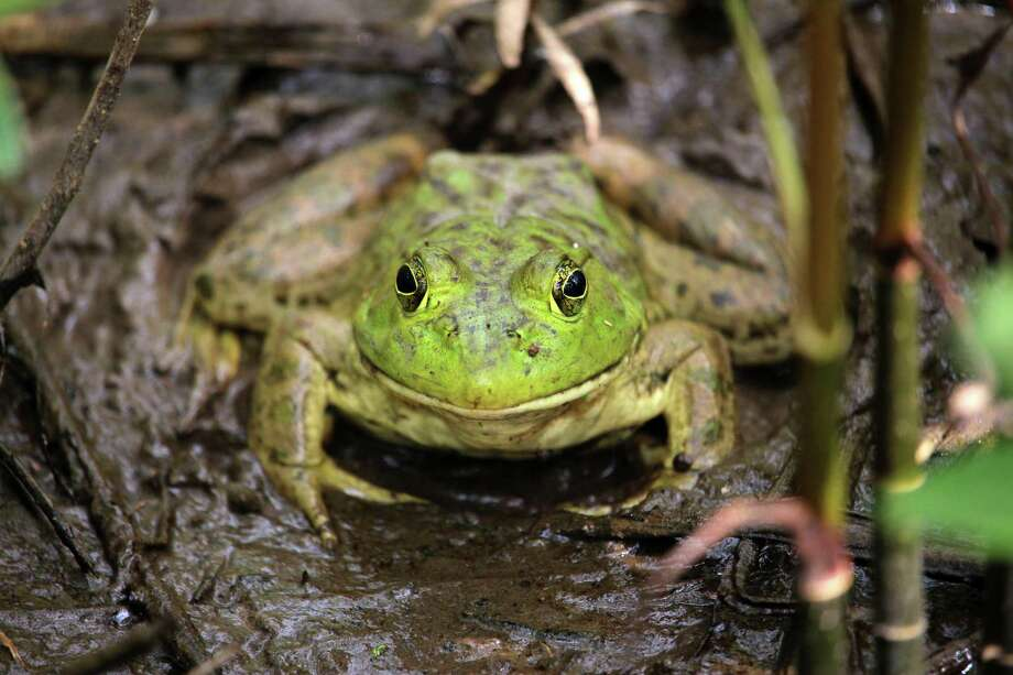 The Yale Peabody Museum of Natural History is looking for citizen scientists to keep track of frogs this spring and summer. Photo: Houston Arboretum & Nature Center / Houston Arboretum & Nature Center