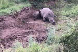 A baby rhino tries to nurse from its dead mother, who was killed by a poacher for her horns hours earlier in a South African national park. The wildlife charity Rhino 911 rescued the calf.